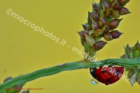Coccinella Septempunctata 29 ago 2015