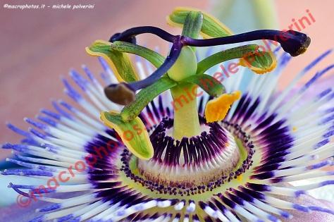 Fiore della passione 07 lug 2013
