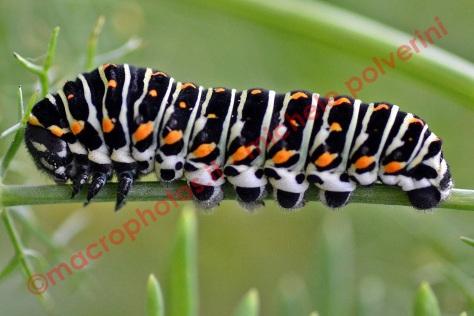 Papilio Machaon 25 ott 2015 (2)