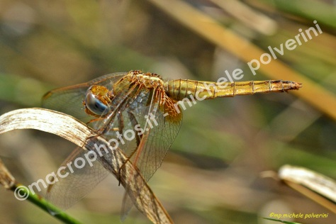 Sympetrum fonscolombii 29 ago 2015